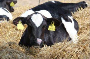 Holstein lypsykarja vasikka olkikuivitus