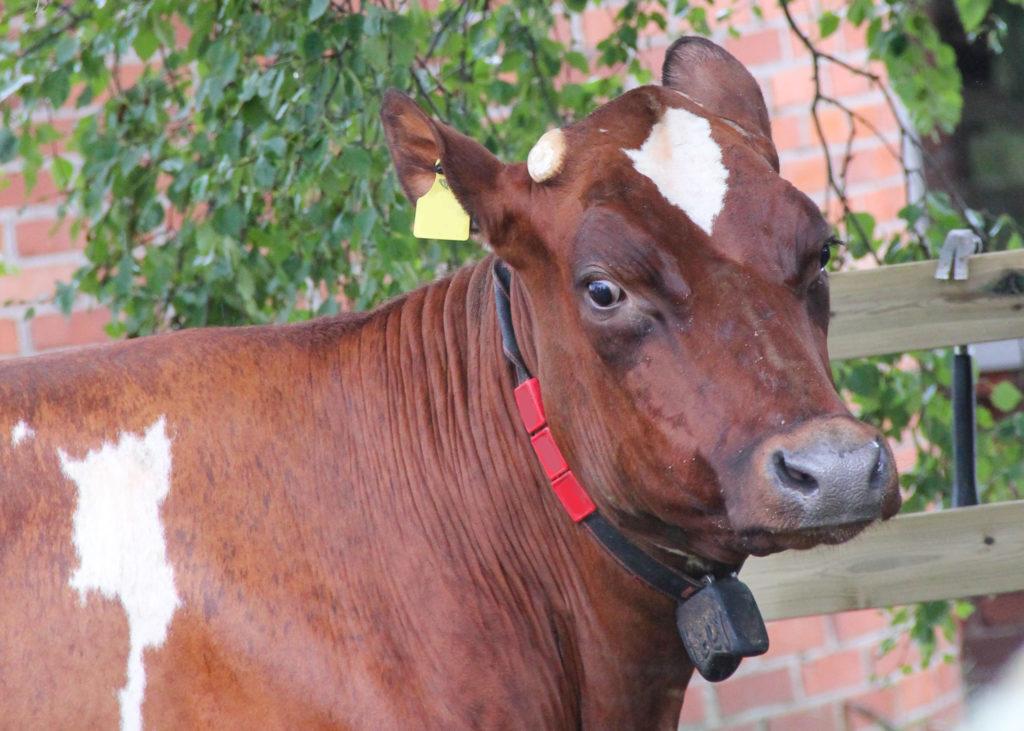 Pelästynyt lehmä