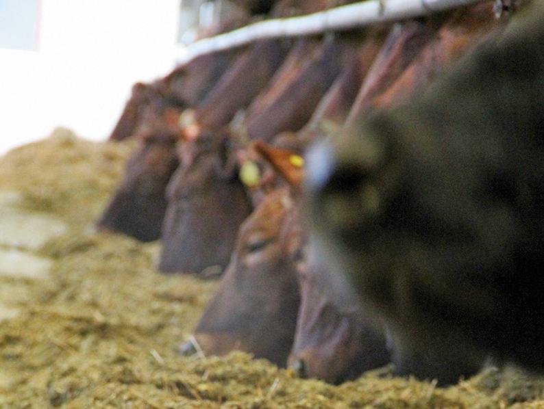 Lehmät syövät rehua