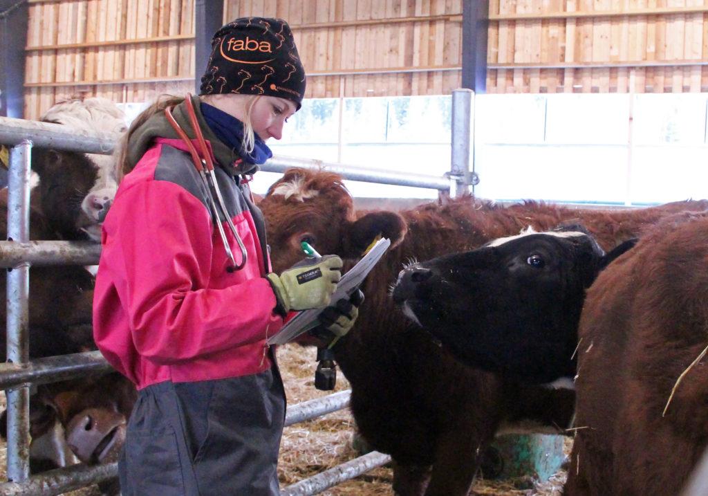 Eläinlääkäri tekee tutkimusta naudoille navetassa
