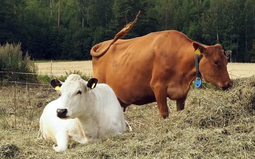 Kaksi suomenkarjan lehmää laitumella